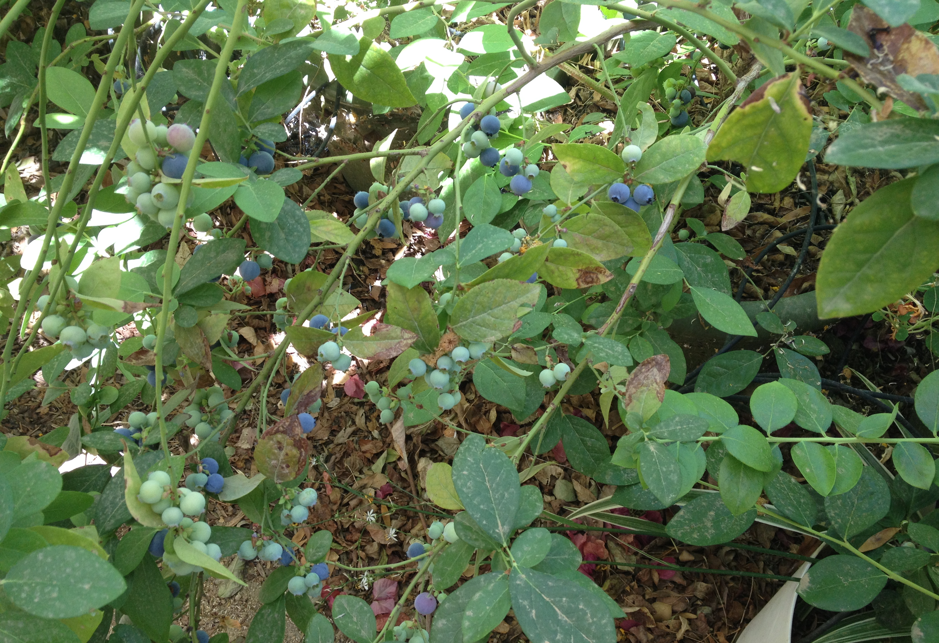 2014-blueberries-march