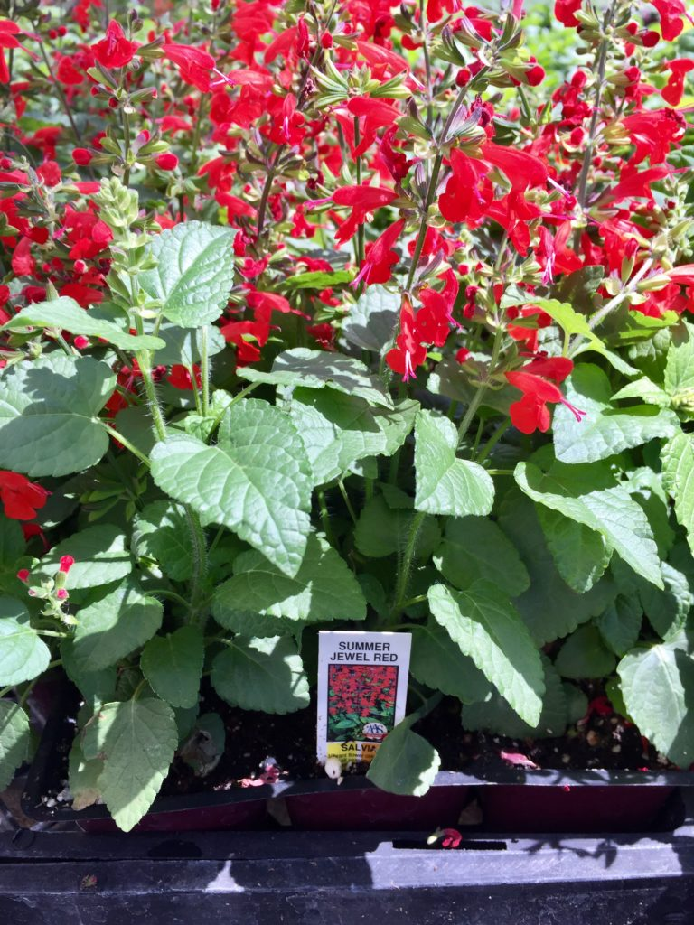 Nursery plants for arizona bees—Red salvia