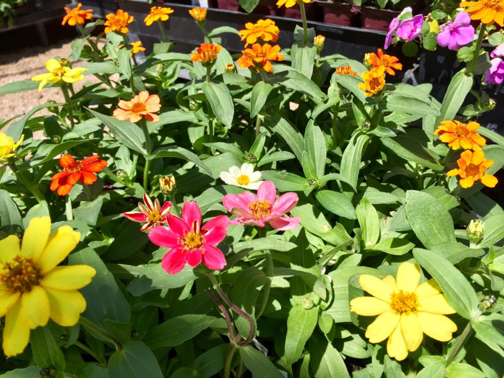 Nursery plants for arizona bees—zinnia