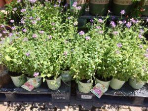 Nursery plants for arizona bees—gooding's verbena