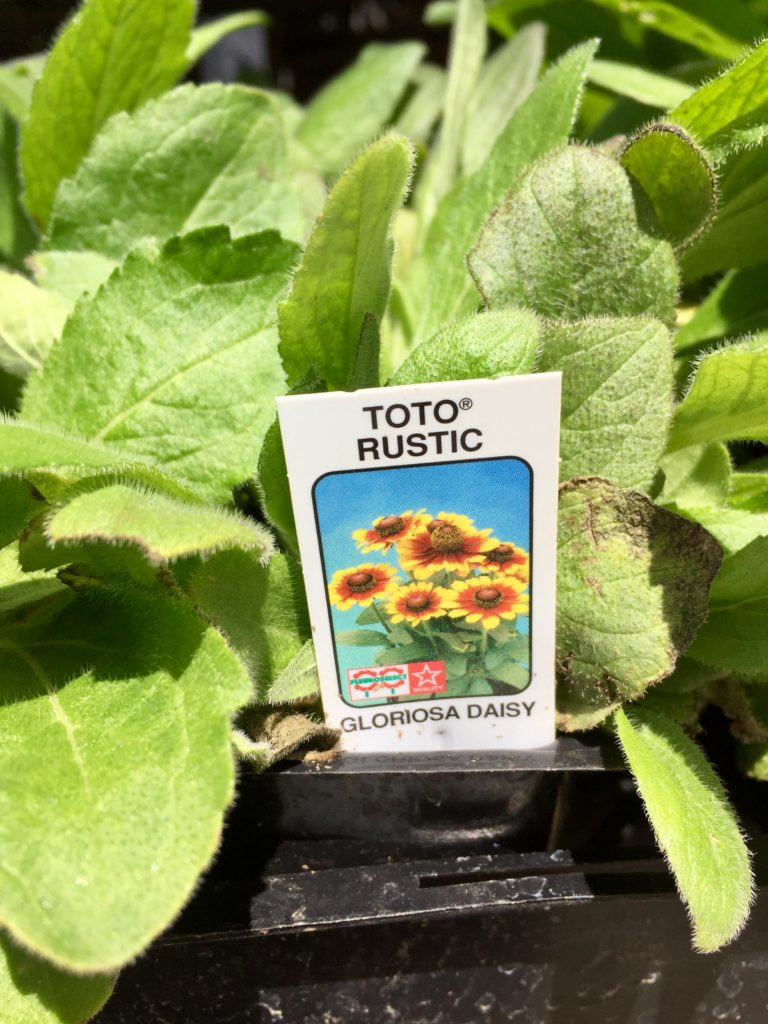 Nursery plants for arizona bees—Gloriosa Daisy