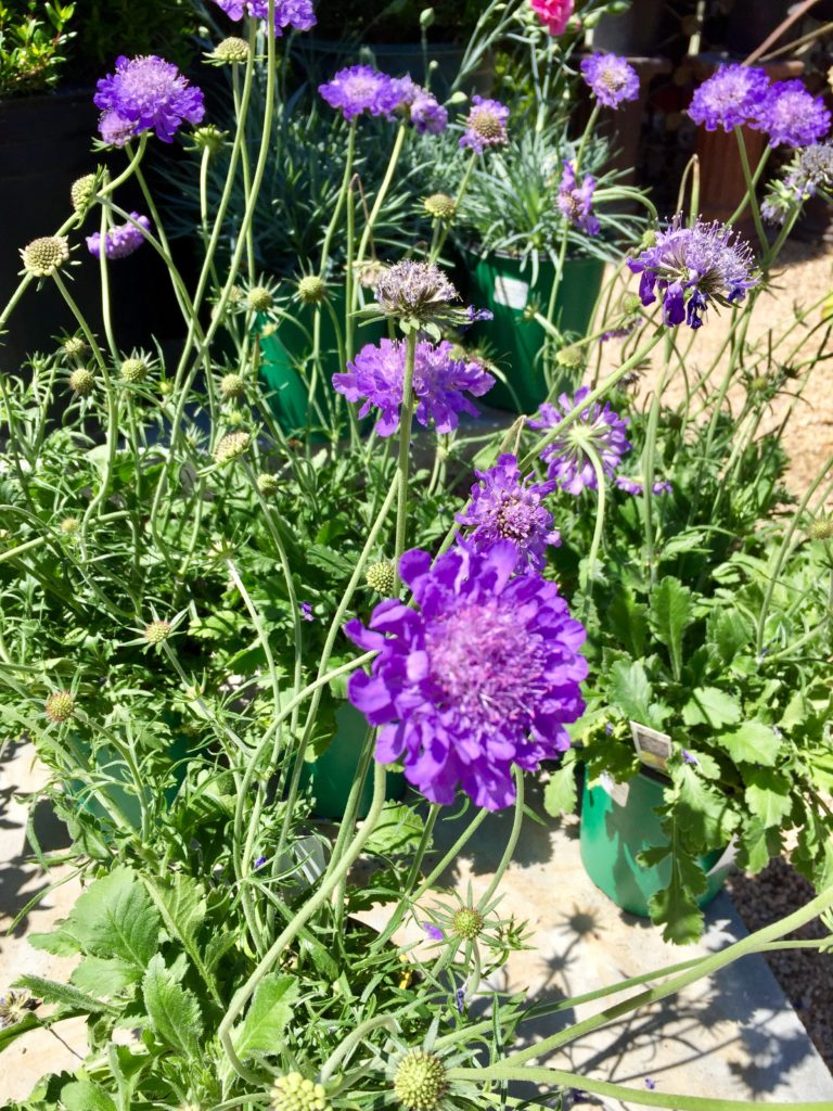 Nursery plants for arizona bees—scabiosa