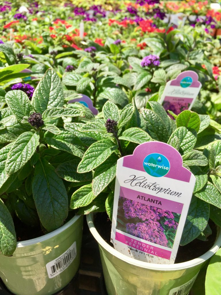 Nursery plants for arizona bees—heliotrope