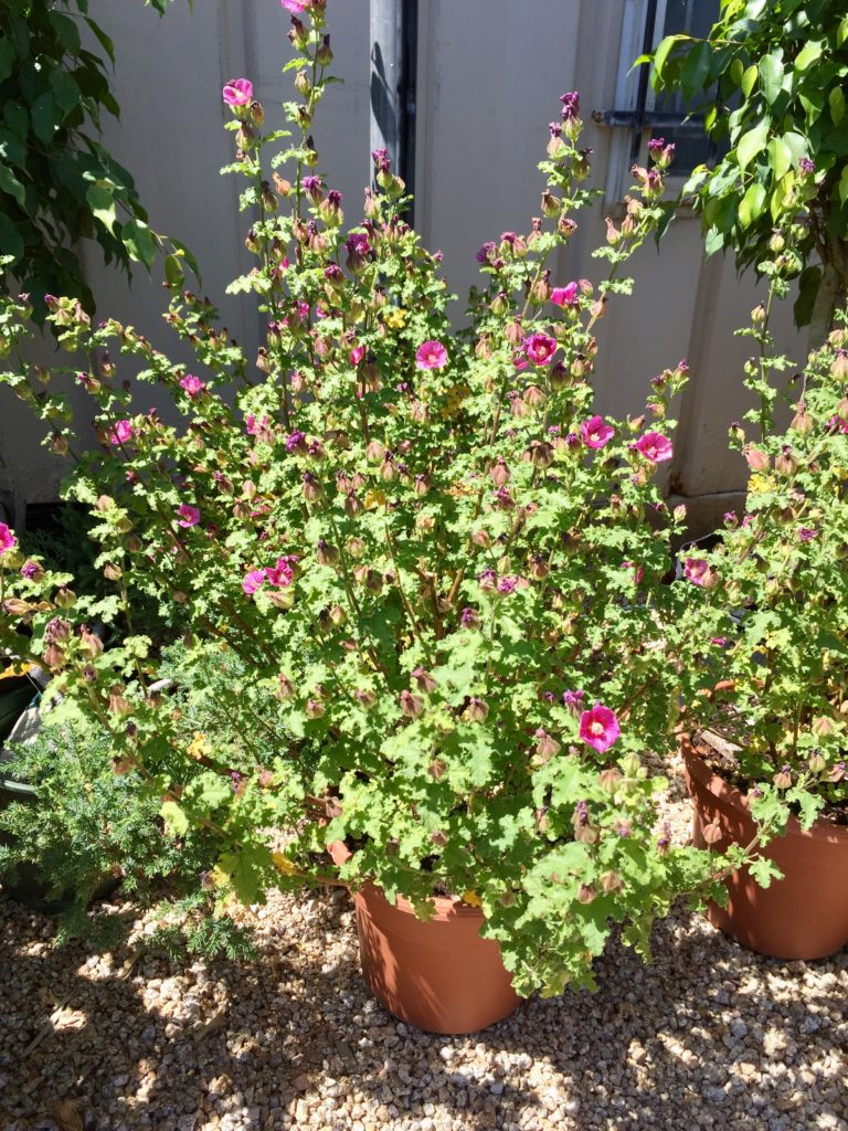 Nursery plants for arizona bees—Cape Mallow