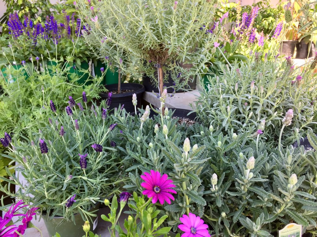 Nursery plants for arizona bees—lavender